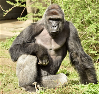Harambe, a 17-year-old male gorilla, was shot dead Saturday after a child fell into his enclosure.