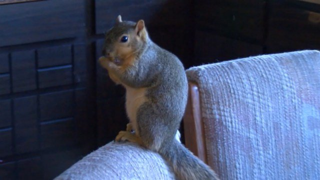 Pet squirrel credited with protecting home from burglar