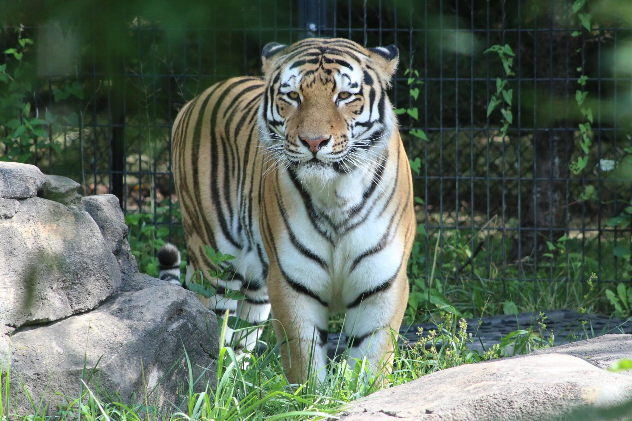 Blank Park Zoo Calendar : Tiger dies from cancer at blank park zoo ktiv news