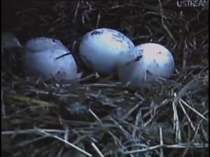 Eggs beginning to hatch at the beginning of April