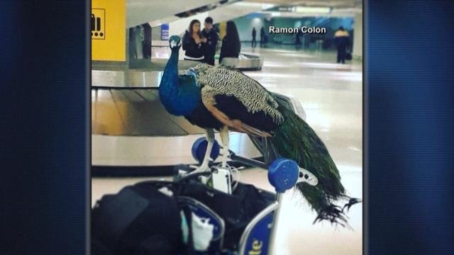 Some of the strangest animals people have tried to bring on planes