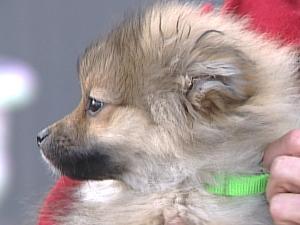Miracle is a three-legged Pomeranian pup