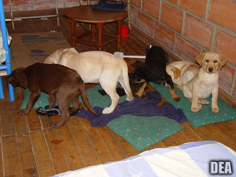 (U.S. Drug Enforcement Administration via AP). This 2005 photo provided by U.S. Drug Enforcement Administration officials shows puppies rescued from a farm in Colombia destined for use by a U.S. veterinarian working for a Colombian drug trafficking rin...