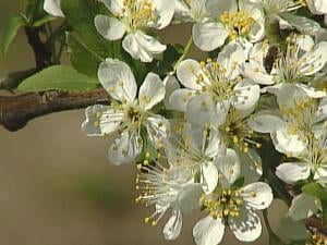Apple blossoms are susceptible to damage anywhere at or below 32 degrees