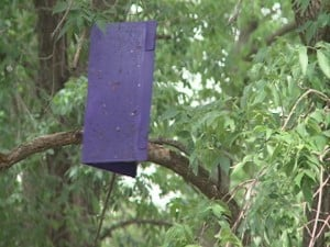 Emerald Ash Borer trap