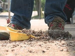 A downtown Dubuque business owner sweeps dead mayflies into a dustpan Sunday afternoon