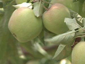 Iowa will likely see a major shortage in its apple crop this year