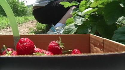 This spring's colder weather delayed this year's strawberry season -- but many are saying the quality of this year's strawberries has not diminished.