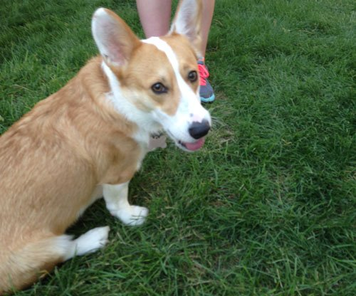 Boswell, a 1 1/2-year-old corgi, plays at Wiggly Field with his owner Nicole Dunham of Waterloo. (Amie Steffeneicher, KWWL)