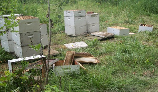 Evidence that the bear had been in bee hives. (Courtesy Iowa DNR)