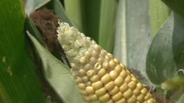 The end of this ear of corn is stunted due to a lack of moisture