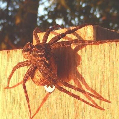A female fishing spider guards her egg sac. Courtesy: Wisconsin DNR