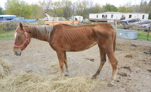 This horse and four others were found to be neglected on an Arlington farm this week.