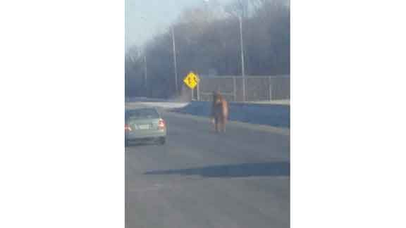 A horse trots down the righthand lane of U.S. Hwy. 218 southbound toward Waterloo. (Photo courtesy KWWL viewer Levi Hirsch.)