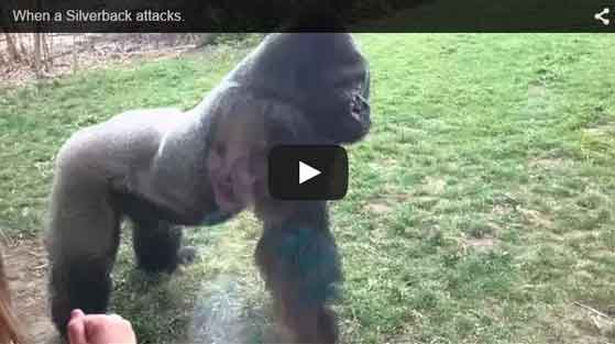 Screenshot of the YouTube video of another gorilla in the enclosure.