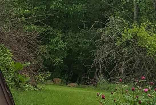 Photo of a bear on the outskirts of a lawn on Julien Dubuque Drive in Dubuque. (Courtesy Ginnifer Weiler)