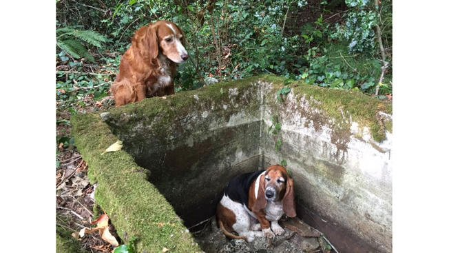 In this Tuesday, Sept. 15, 2015, photo provided by Amy Carey, of Vashon Island Pet Protectors, a setter mix named Tillie, left, watches over Phoebe, a basset hound who was trapped after falling into the
