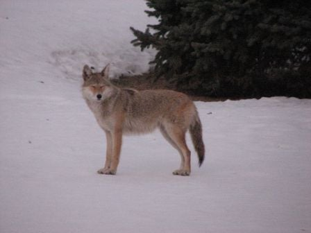 A picture of the Cedar Falls Coyote from Suzie Downs